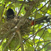 Red-vented Bulbul at nest