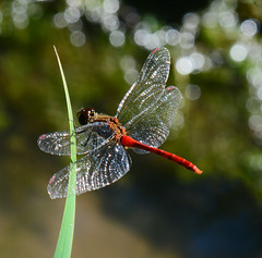 Resting (mishko2007) Tags: dragonfly korea 105mmf28