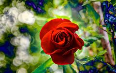 Rose rouge. (Crilion43) Tags: réflex région objectif nature fleursetplantes centre canon roses france bleu véreaux feuillesfeuillage cher vert tamron jardin paysages 1200d massif villes divers fleurs matérielphoto