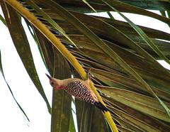 Hanging Out Under The Frond (ACEZandEIGHTZ) Tags: nikond3200 nature backyard birdwatcher tree frond palm redbelliedwoodpecker bird avian feathers closeup melanerpescarolinus