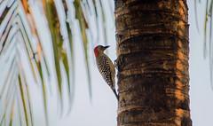 In The Morning Light (ACEZandEIGHTZ) Tags: treetrunk palmtree nikond3200 nature bokeh backyard birdwatcher redbelliedwoodpecker melanerpescarolinus bird avian fronds coth alittlebeauty coth5
