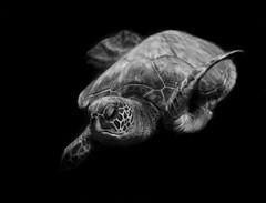 Portrait of a sea turtle (Robin Wechsler) Tags: underwater turtle seaturtle wildlife animal