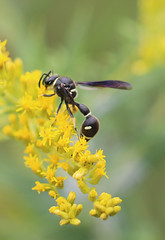 Potter wasp (Kerry Wixted) Tags: glendening nature preserve september 2019 master naturalist aa county anne arundel invertebrate fall potter wasp