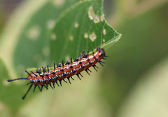 varigated fritillary caterpillar (Kerry Wixted) Tags: glendening nature preserve september 2019 master naturalist aa county anne arundel invertebrate fall varigated fritillary caterpillar