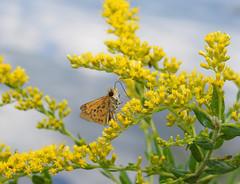 Lakeside Dining (annette.allor) Tags: fieryskipper butterfly hylephilaphyleus