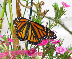 fresh September Monarch - leaving for Mexico (Vicki's Nature) Tags: monarch male fresh eclosed wings dorsal brown orange black spots pink dianthus flowers blossoms yard georgia vickisnature canon s5 1471