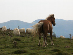 Windblown (amgirl) Tags: orissontoroncesvalles france spain pyrenees 2019 summer walking monday vacation august26 horse sheep mountain animals