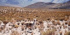 Argentina (paolomilanese) Tags: road argentina desert lama salta noa puna vicuna animals animali cordillera ande lapuna