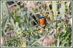 Martin-Pêcheur 190918-99 (paul.vetter) Tags: oiseau ornithologie ornithology faune animal bird martinpêcheur alcedoatthis eisvogel kingfisher
