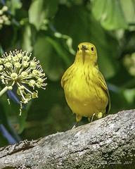 Yellow Warbler (Bob Gunderson) Tags: birds california goldengatepark middlelake northerncalifornia sanfrancisco setophagapetechia warblers woodwarblers yellowwarbler