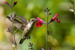 0P7A3984  Ruby-throated Hummingbird, Canada (ashahmtl) Tags: rubythroatedhummingbird bird hummingbird archilochuscolubris inourbackyard pointeclaire quebec canada