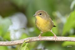 Common Yellowthroat (jt893x) Tags: 150600mm bird commonyellowthroat d500 female jt893x nikon nikond500 sigma sigma150600mmf563dgoshsms songbird warbler yellowthroat