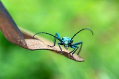 Moschusbockkäfer (Peter Klecker) Tags: käfer insekten bockkäfer