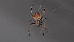 Big Spider (blazer8696) Tags: big img5751 hillsborough northcarolina unitedstates 2019 arachnid dwyparents ecw foxrun nc spider t2019 usa