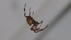 Big Spider (blazer8696) Tags: big img5745 hillsborough northcarolina unitedstates 2019 arachnid dwyparents ecw foxrun nc spider t2019 usa