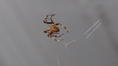 Big Spider (blazer8696) Tags: big img5737 hillsborough northcarolina unitedstates 2019 arachnid dwyparents ecw foxrun nc spider t2019 usa