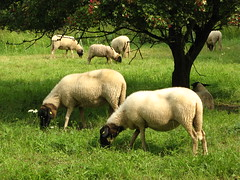 Hirte, nimm dich deiner Herde (amras_de) Tags: hausschaf skaap ovisorientalisaries ovca ovella ovcedomácí får sheep safo lammas ardi mouton caora domacaovca juh ove sauðfé ovisaries avis aita schaap sau tamsau owcadomowa ovelha oaiedomestica crastu ovcadomáca tamfår evcilkoyun