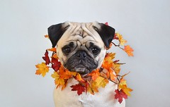 Welcoming Fall (DaPuglet) Tags: pug pugs dog dogs animal animals pet pets leaves autumn fall costume collar colours color carlin chien cute leaf colors colour portrait coth5 coth alittlebeauty clydesfriends