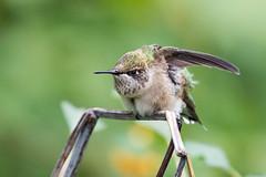 Bring it on, Man, Bring it on! (Ben-ah) Tags: hummingbird redthroatedhummingbird badass centralpark park oven nyc newyork manhattan bird smallbird