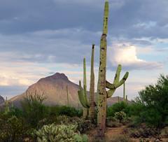 """Roses may say 'I love you,' but the cactus says 'F*ck off.'"" ~ Jarod Kintz (JulieJB18) Tags: tucson saguaros cacti desert"