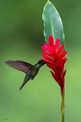 Talamanca Hummingbird (Christian Sanchez Photography) Tags: hummingbirds hummbimbird heron hummingbird birdsofcostarica birds birdsfly birdswater birdsecuador birdsofecuador birdsafrica birdsbirdsofcostarica neotropical