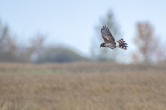 Northern Harrier (Peter Stahl Photography) Tags: northernharrier harrier hawl migration