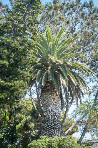 Thick Trunk Palm Tree - Laguna Beach, California