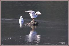 Mouettes 190918-01-P (paul.vetter) Tags: oiseau ornithologie ornithology faune animal bird mouetterieuse chroicocephalusridibundus blackheadedgull lachmöwe gaviotareidora