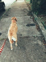 259/365 (moke076) Tags: dog pet animal yellow walking lab labrador retriever sidewalk leash oneaday mobile project cellphone cell photoaday 365 iphone 2019 project365 365project