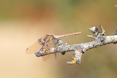 Common darter dragonfly (Sympetrum striolatum) (rumyanawhitcher) Tags: nsect sympetrumstriolatum dragonfly nature wings fauna