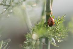 On guard (L E Dye) Tags: 20mmextensiontube dillweed ladybug raindrops 2019 alberta d750 ledye macro nikon fall