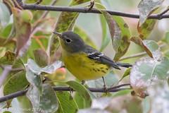 Southward bound (rdroniuk) Tags: birds smallbirds warblers passerines magnoliawarbler setophagamagnolia oiseaux passereaux parulines parulineàtêtecendrée