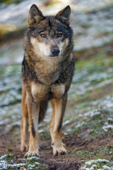 Wolf, just standing (Tambako the Jaguar) Tags: wolf canid canine brown standing posing portrait face grass snow cold soil siky park zoo crémines switzerland nikon d5