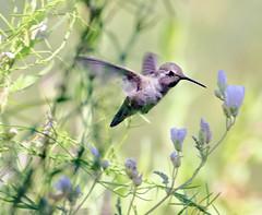 Costa's Hummingbird -- Juvenile Male? (Calypte costae); Tucson, AZ, Tohono Chul Park[Lou Feltz] (deserttoad) Tags: nature animal bird wildbird wildlife hummingbird tree desert arizona shrub bloom flower