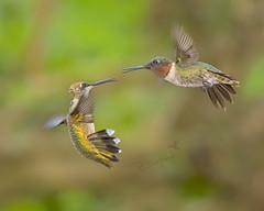 hummingbirds  8-27-19_039 (pmsswim) Tags: hummingbird rubythroatedhummingbird arkansas archilochuscolubris colibri inthegarden latesummer august 2019