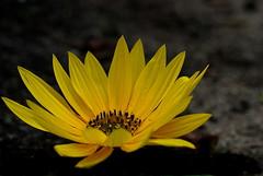 DSC06836 (Argstatter) Tags: sonnenblume bokeh natur flower blume blüten gelb nahaufnahme