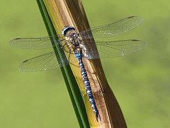 Southern hawker dragonfly (Charos Pix) Tags: dragonfly southernhawker