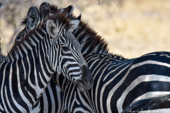 Tarangire National Park (Duma Overland) Tags: tarangire national park safari tanzania lodge overland africa east elephant zebra buffalo big 5 giraffe treetops elewana