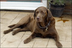 molly_DON7978 (ladythorpe2) Tags: labrador brown chocolate outside back door female britain yorkshire fenwick