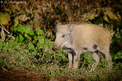 Wildschwein / Wild Boar (R.O. - Fotografie) Tags: wildschwein wild boar frischling freshling willebadessen rofotografie tier animal panasonic lumix dmcgx8 dmc gx8 gx 8 leica 100400mm nahaufnahme closeup close up action wildlife
