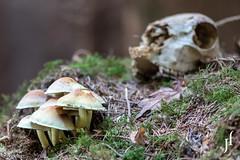 Rezepte aus dem Wald (226 Pixel) Tags: pilze wald schädel skelett