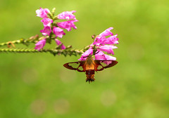 Clear Wings (Diane Marshman) Tags: hummingbird clearwing moth burgandy wings body rusty brown black antennae large flying open wing pink purple tall perennial plant flower summer bloom bloomer spreading northeast pa pennsylvania nature garden obedient late blossoms band landscape
