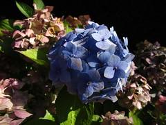 IMG_7028 lovely Hydrangea (belight7) Tags: flowers uk england stoke poges memorial garden blue stokepoges