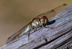 Libelle beim Sonnenbad (J.Weyerhäuser) Tags: herbst libelle oberolmerwald damselfly dragonfly insect