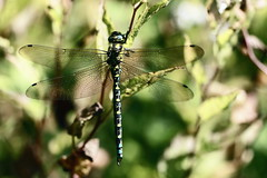 Southern Hawker dragonfly (claylaner) Tags: southern hawker dragonfly aeshnacyanea odonata anisoptera