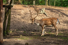 Wildpark MV (Zarner01) Tags: canon jan 80d wildparkmv 15092019 germany deutschland eos zoo fred 1018 tierpark frode bär wildpark mecklenburgvorpommern dammwild nup 24105l naturundumweltpark canoneos80d büdnerei wiesenwelten