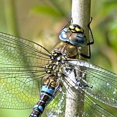 Migrant Hawker 1 17 Sept 19 (Tim Harris1) Tags: nikond7100 nikkor80400afs sculthorpemoor norfolk dragonfly migranthawker