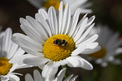 Daisies (San Francisco Gal) Tags: daisy pollinator bee bokeh flower fleur bloom blossom