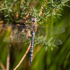 Migrant Hawker (PedroLanders) Tags: meeth devon meethquarry devonwildlifetrust insect dragonfly odonata