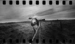 2442 Bovine Stare. (Monobod 1) Tags: ondu 135 panoramic expired ilford hp5 rodinal pinhole lensless epsonv800